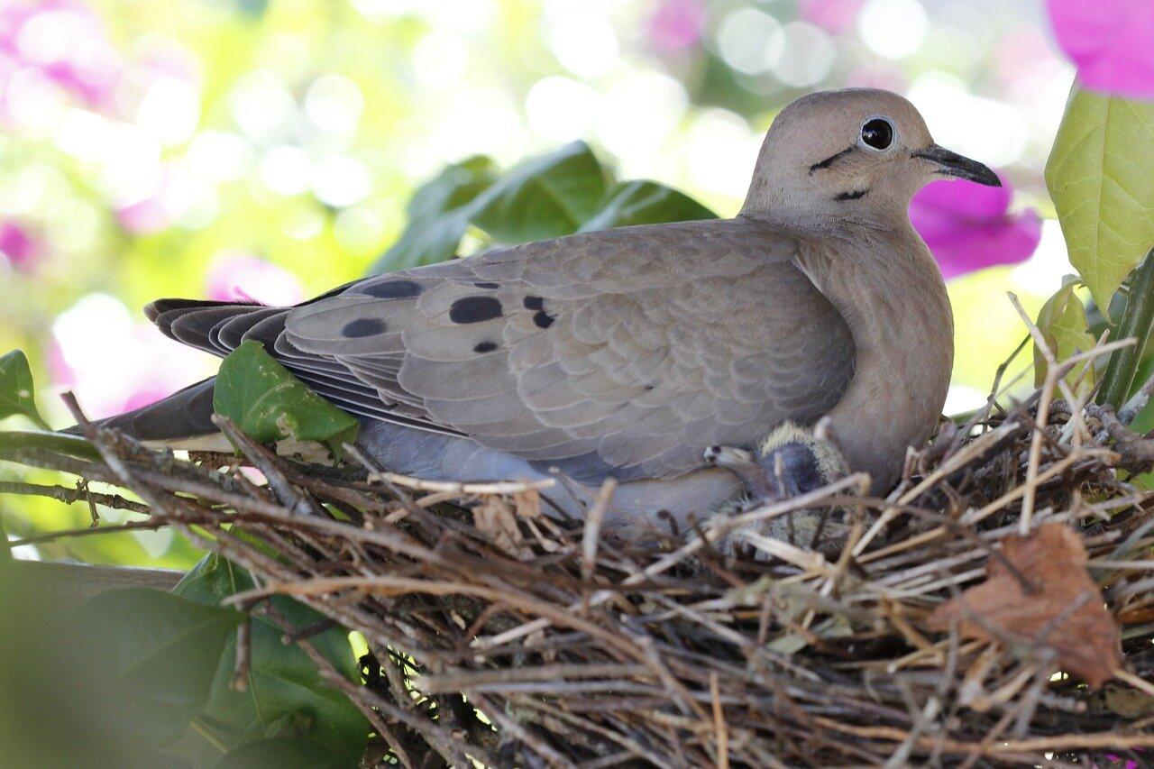 Kiedy gołębie opuszczają gniazdo? Gołębie miejskie a hodowlane. Kiedy gołębie zaczynają latać?