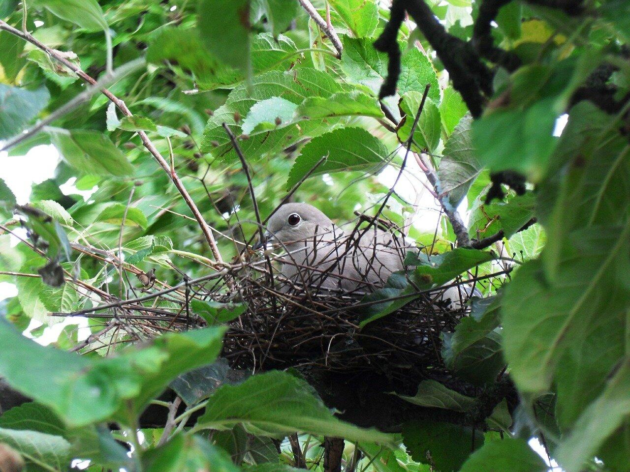 Gdzie gołąb zakłada gniazdo? Dwuznaczna natura gołębia – Gdzie gołębie zakładają gniazda?