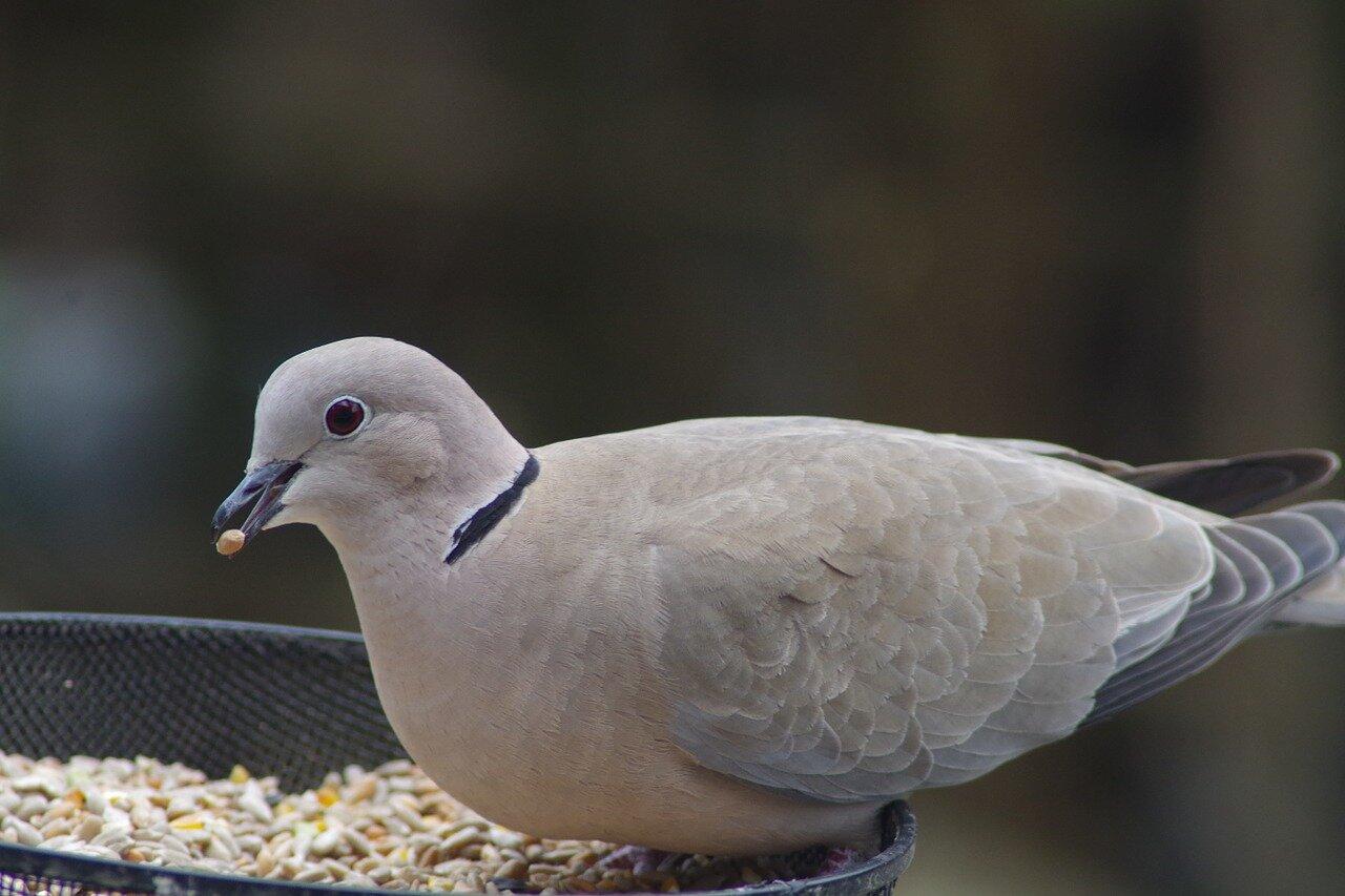 Co jedzą gołębie dzikie? Pożywienie gołębi hodowlanych. Co jedzą gołębie pocztowe?