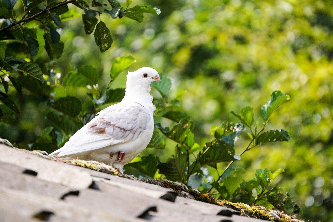Ile gołąb siedzi na jajkach? Rozmnażanie gołębi – Ile gołąb wysiaduje jajka?