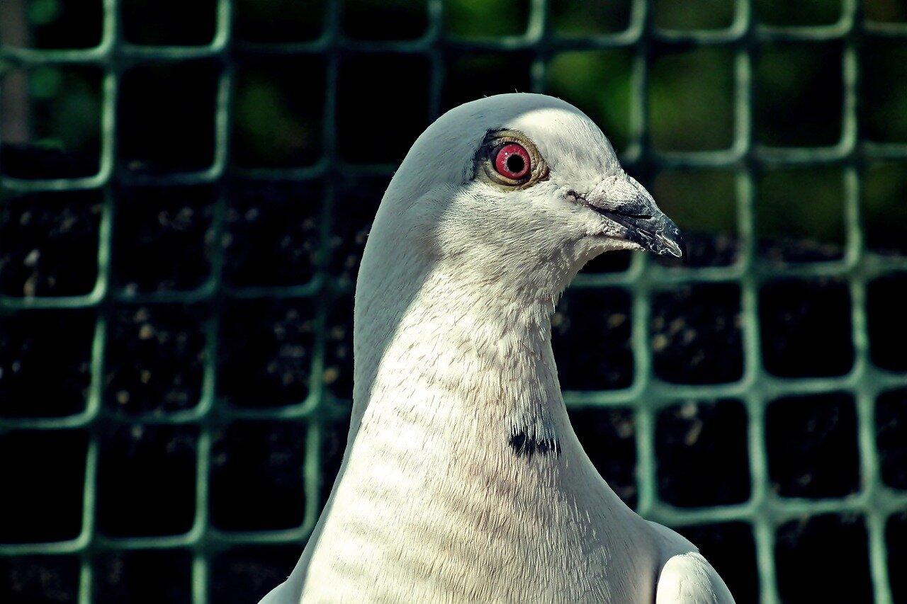 Hodowla gołębi jak zacząć? Pierwsza hodowla gołębi pocztowych jak zacząć