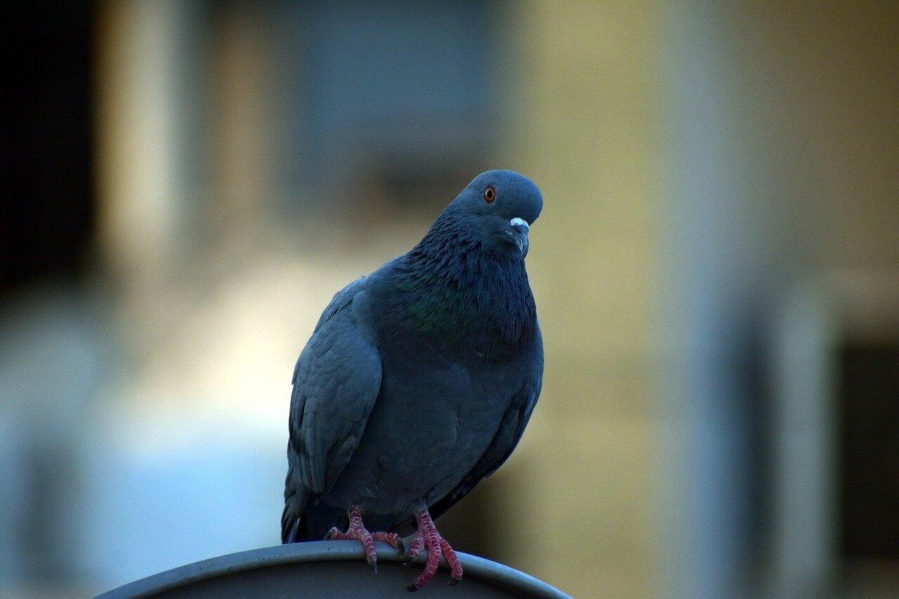 Rasy gołębi pocztowych, Gołębie jak rozpoznać płeć