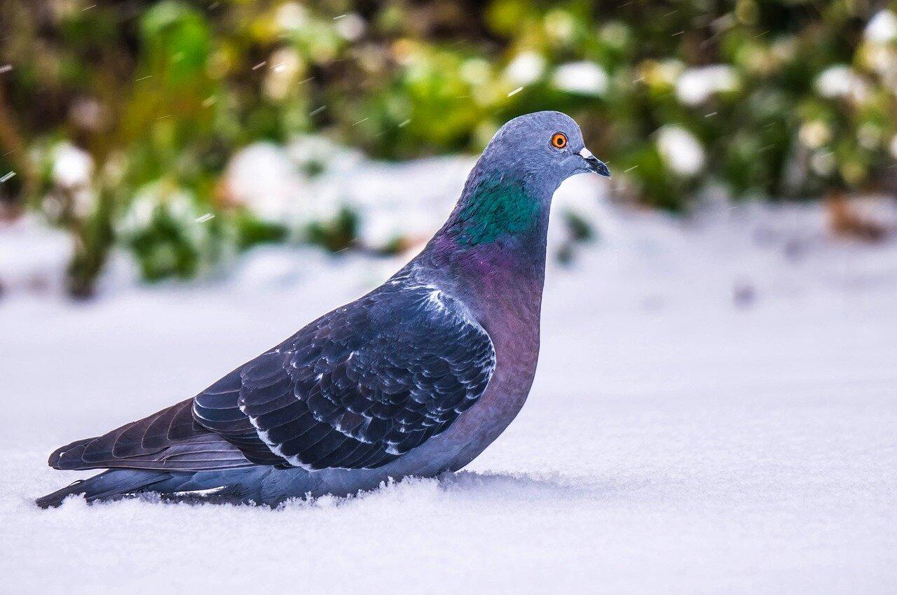 Co robią gołębie zimą? Ciekawostki o gołębiach. Jak gołębie odnajdują drogę?