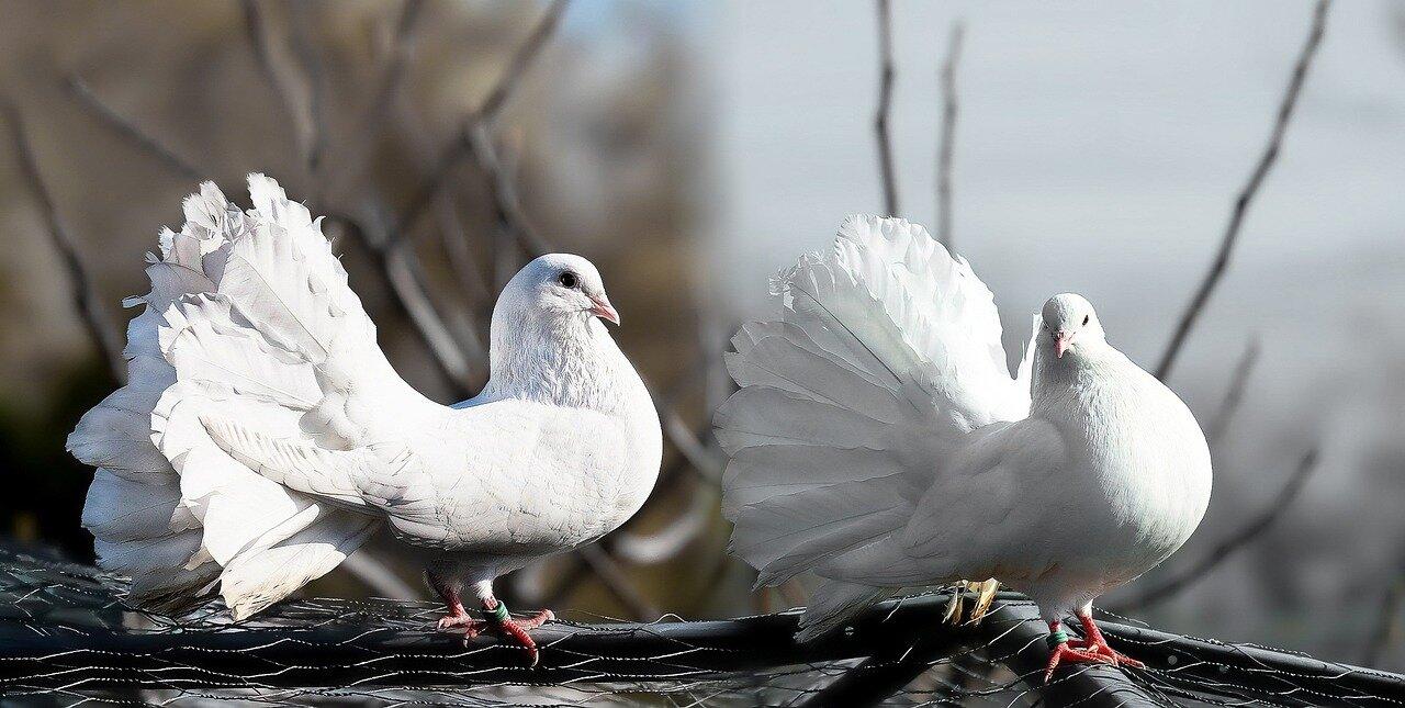 Szczepienie gołębi kiedy? Dbaj o hodowle gołębi. Odrobaczanie gołębi kiedy