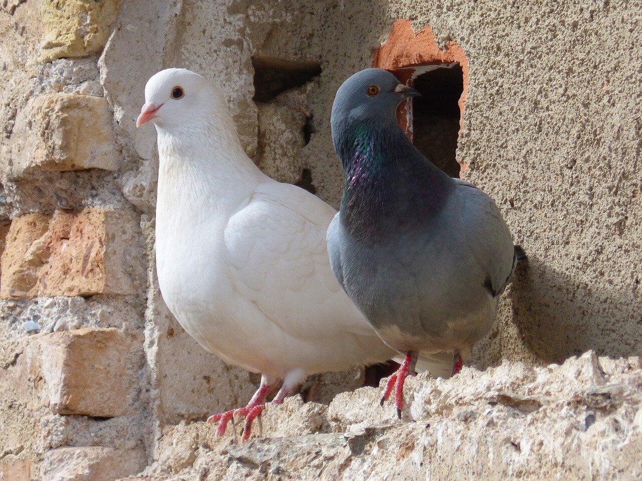 Ciekawostki o gołębiach. Dlaczego gołębie ruszają głową?
