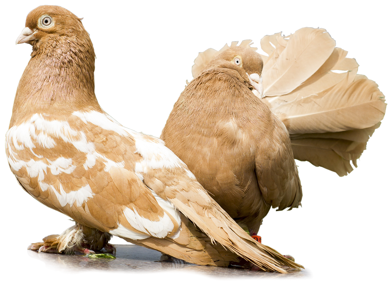 Piękne gatunki gołębi – Gołębie pawiki indyjskie. Terminy wystaw gołębi