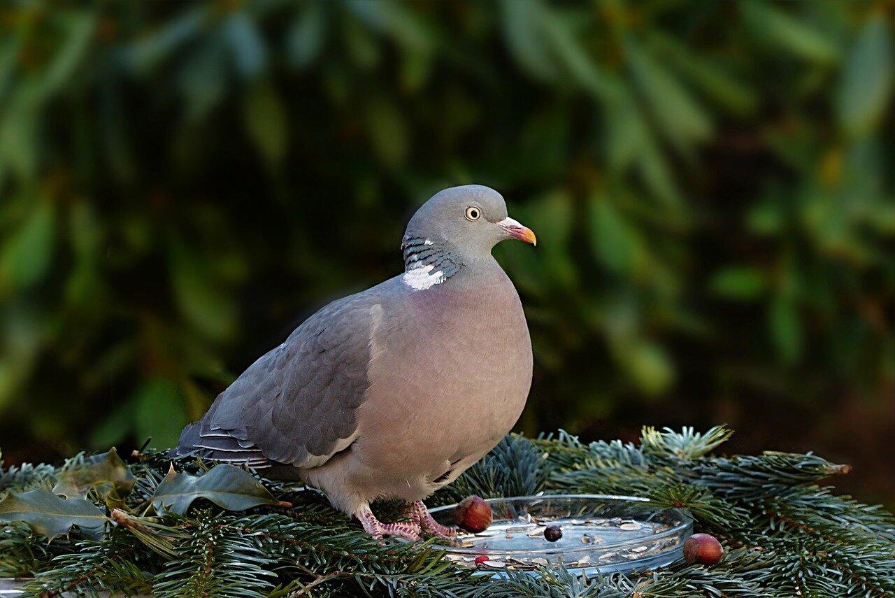 Sklepy dla gołębi. Hodowla gołębi – od czego zacząć. Targi gołębi mazowieckie