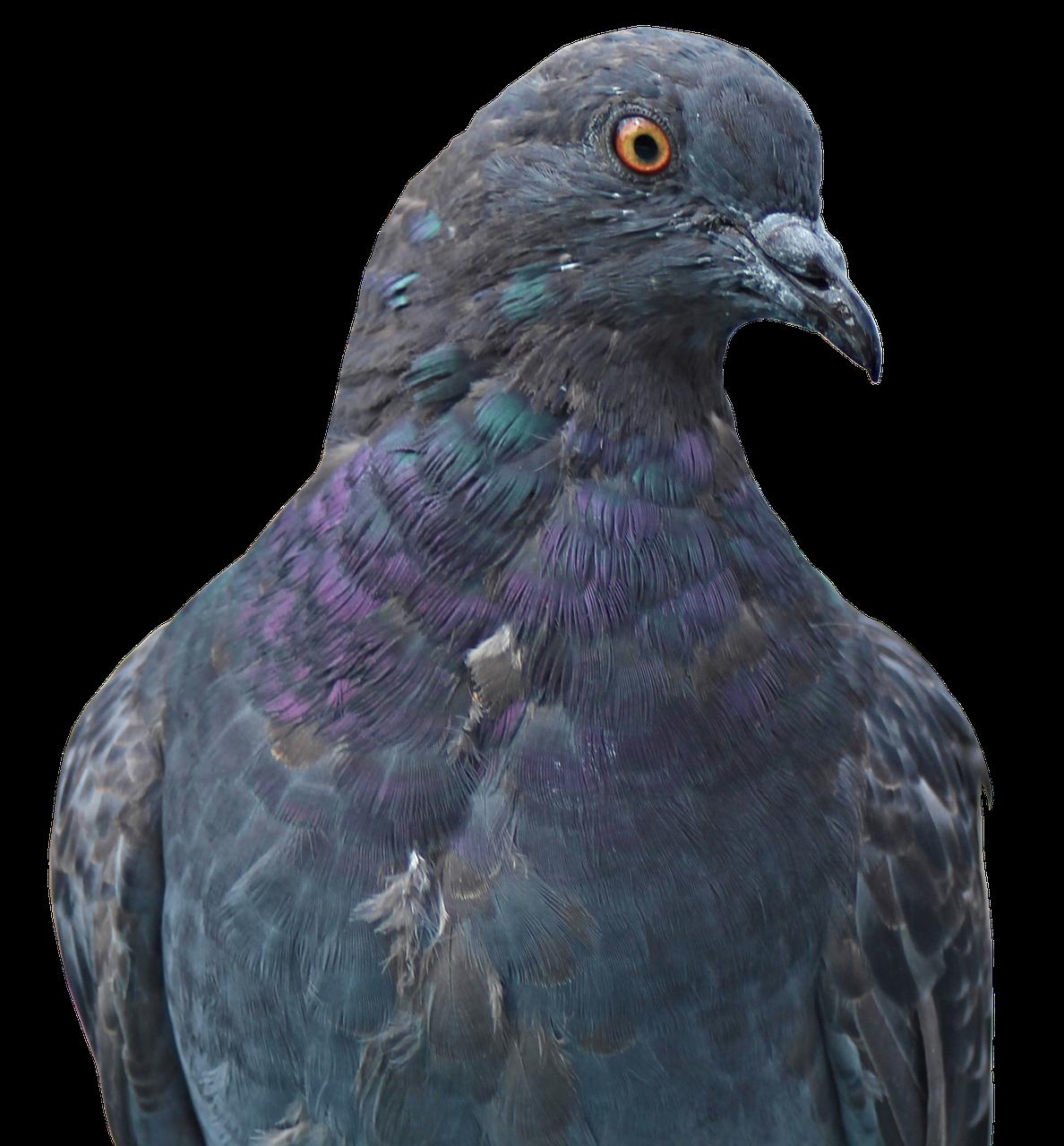 Loty gołębi młodych – Gołębie pocztowe