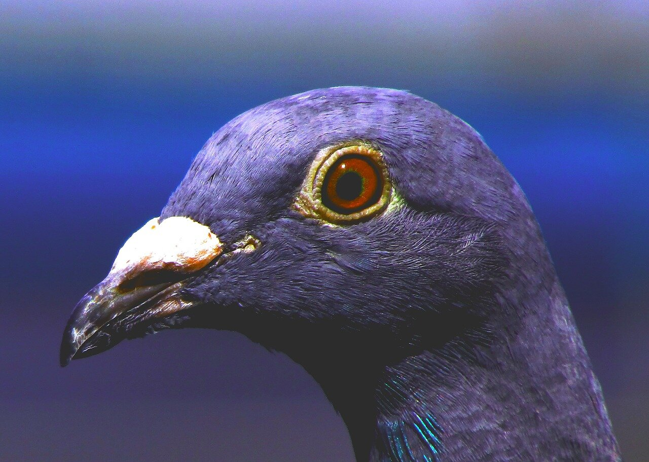Rasy gołębi pocztowych. Lista gołębi pocztowych
