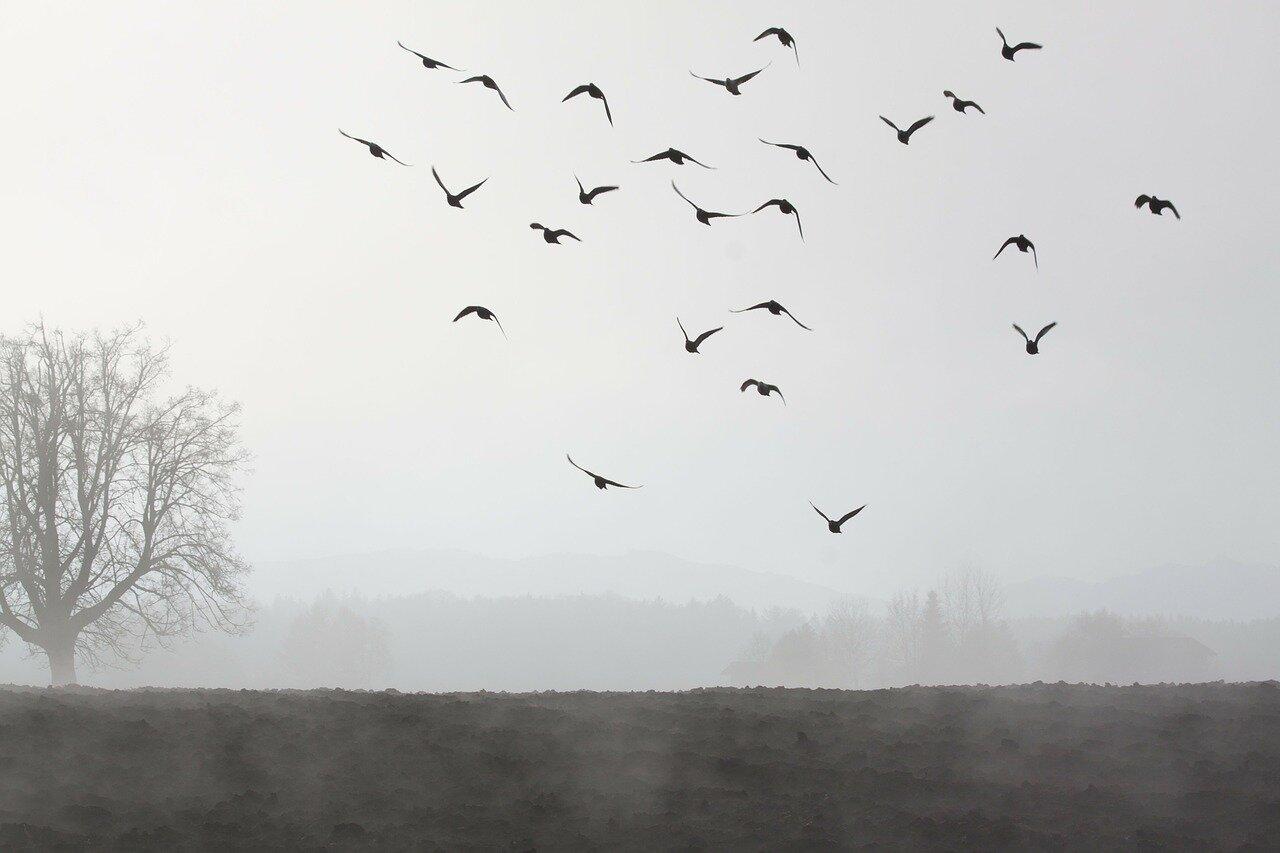 Gołębie pocztowe dalekodystansowe. Klub gołębi dalekodystansowych