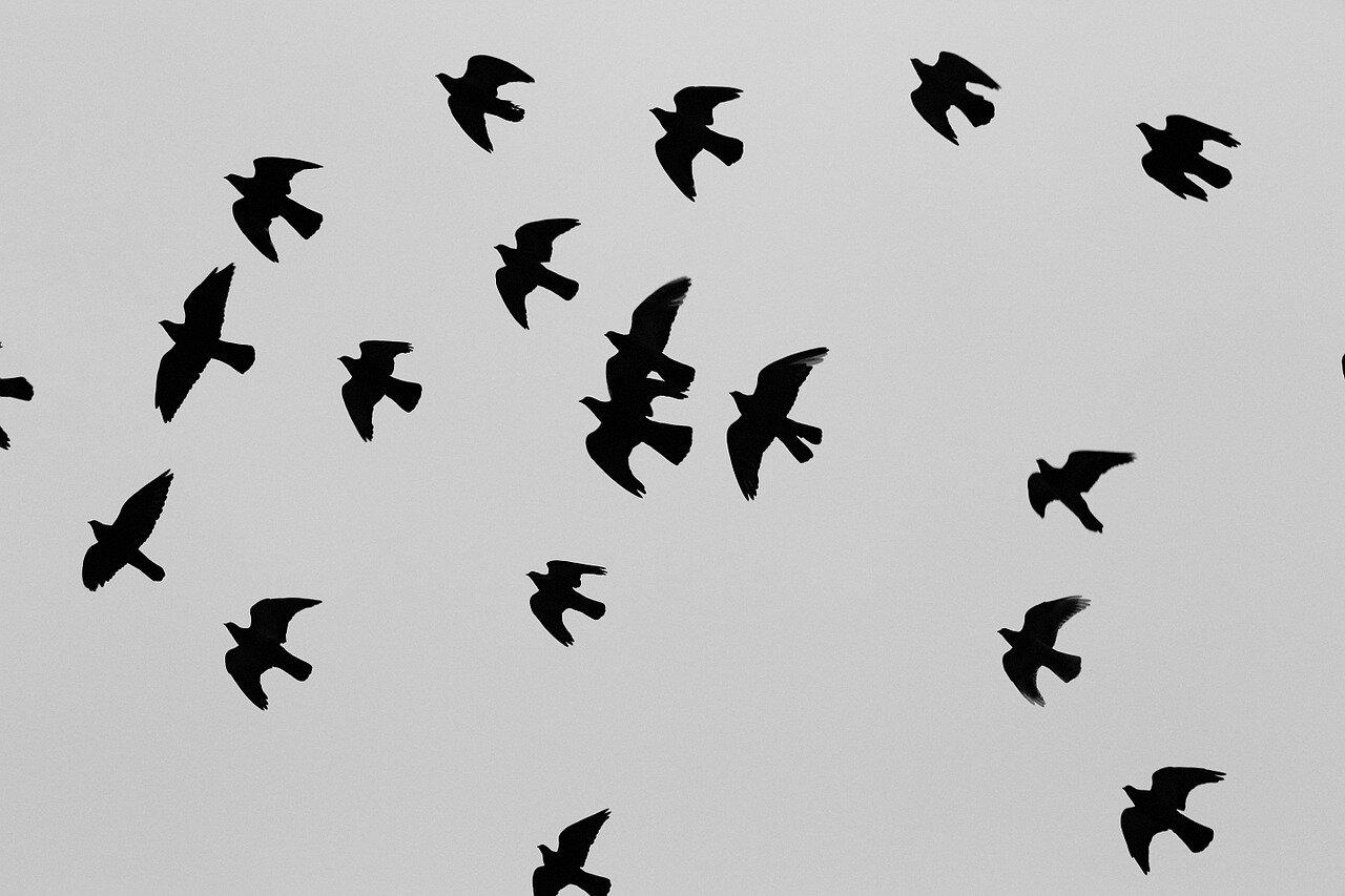 Udział gołębi w zawodach. Zawody gołębi pocztowych