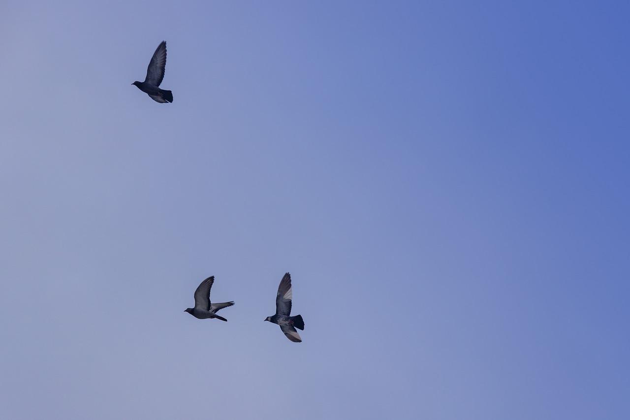 Przyloty gołębi pocztowych z lotu