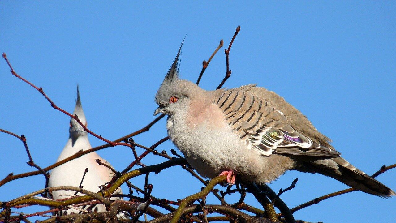 Loty młodych gołębi pocztowych, Loty gołębi młodych karmienie