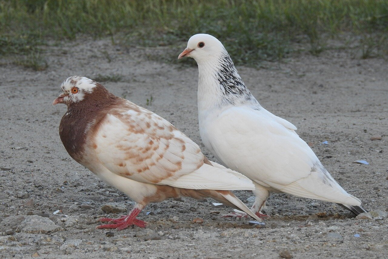 Rodzaje gołębi dalekodystansowych. Gołębie dalekodystansowe szczepy – na sprzedaż