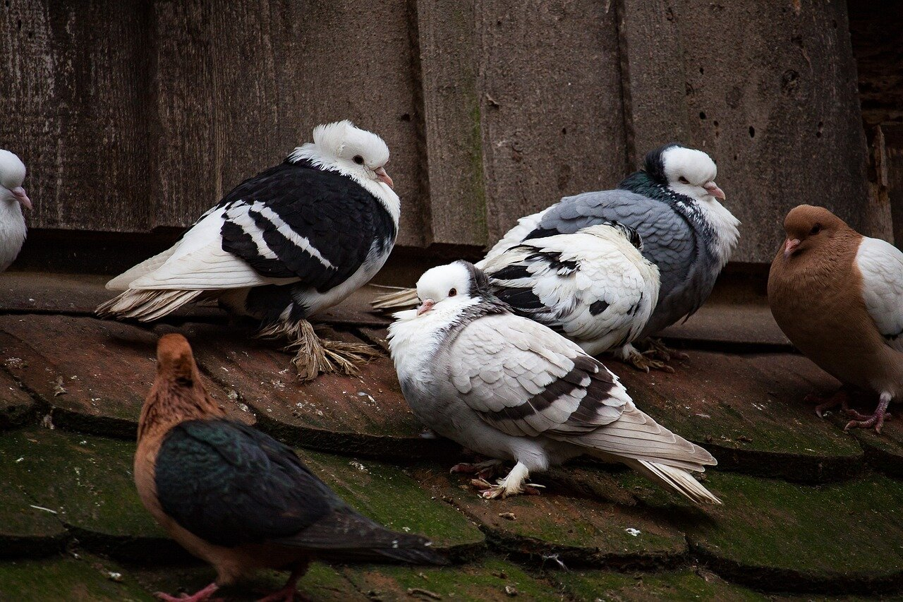 Wystawa gołębi w Poznaniu