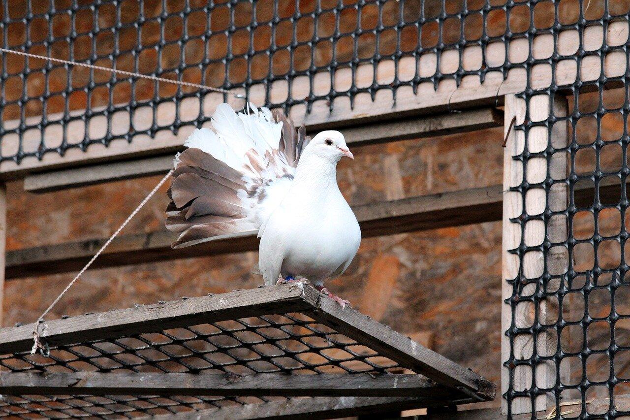 Wystawa gołębi pocztowych w Sosnowcu