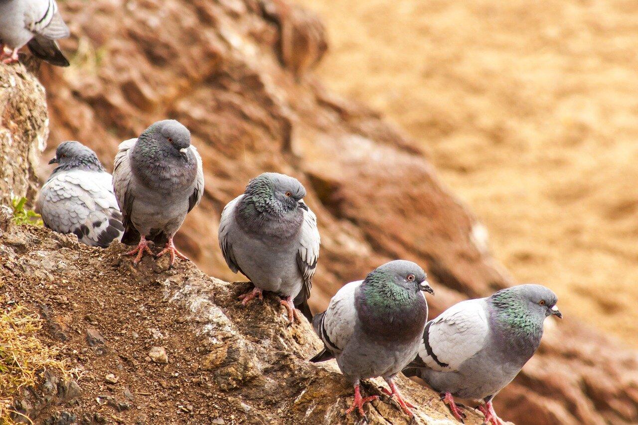 Przygotowania gołębi do lotów