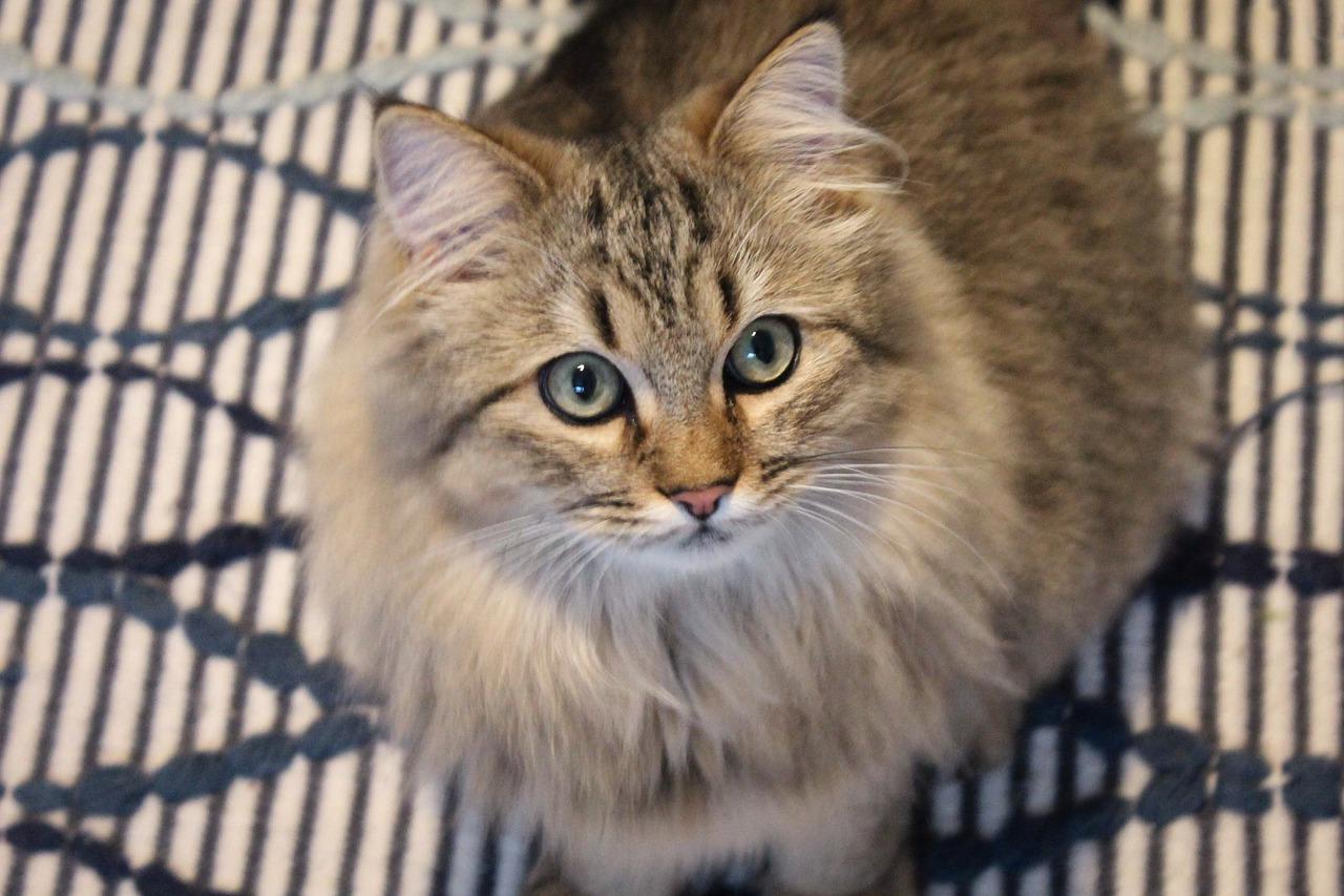 10 najdroższych kotów na świecie